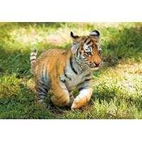 PUZZLE 104 WWF PEQUEÑO TIGRE